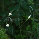 Allium-3web-4