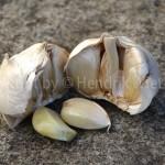 Allium-web-1