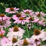 Echinazea purpurea 1-1