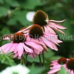 Echinazea purpurea 2-2