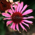 Echinazea purpurea 4-3