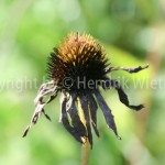 Echinazea purpurea 5-4