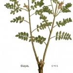 Glycyrhiza-glabra-web