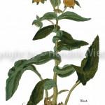 Inula helenium KB-2