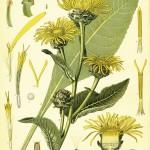 Inula helenium alt