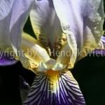 Iris germanica-5-4