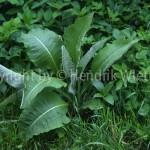 inula helenium 1-1