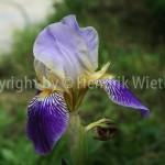 iris germanica113-6