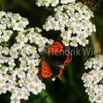 Achillea millefolium 0JPG-9