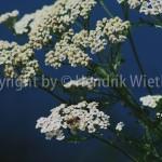 Achillea millefolium 1-2