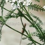 Achillea millefolium 2-4