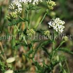 Achillea millefolium10-1