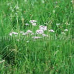 Achillea millefolium22-5