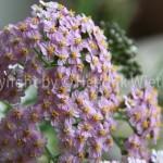 Achillea millefolium23-11