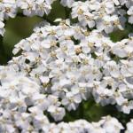 Achillea millefolium9-6