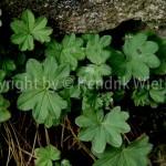 Alchemilla vulgaris 3-4