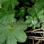 Alchemilla vulgaris 4-3