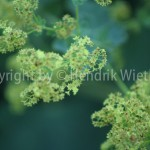 Alchemilla vulgaris1-2