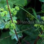 Alchemilla vulgaris5-6