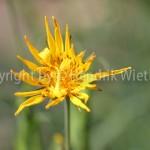 Arnica montana1-3