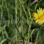 Arnica montana2-4