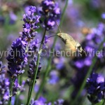 Lavandula officinalis f4-3