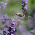Lavandula officinalis f6-2
