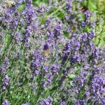 Lavandula officinalis f7-1