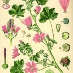 """Aus """"Köhler´s Arzneipflanzen 1882"""""""
