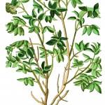 Sambucus nigra1KB
