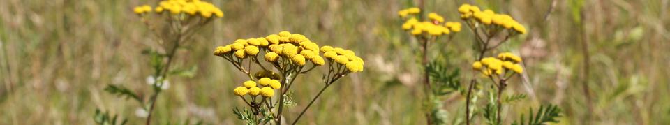 Heilpflanzen der gemäßigten Zonen