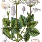 Aegopodium podagraria, Giersch