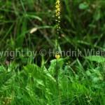 Agrimonia eupatoria1-3