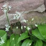 Allium ursinum, Bär-Lauch-2