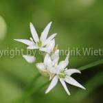 Allium ursinum, Bär-Lauch1-1