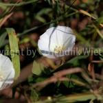 Calystegia sepium,Zaunwinde2-5