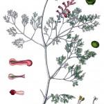 Fumaria medicinalis, Gewöhnlicher Erdrauch