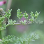 Fumaria officinalis1-5