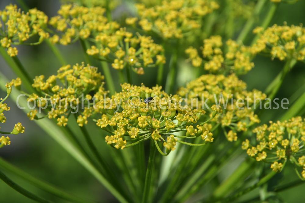 Pastinaca sativa PASTINAK Wildform über 100 Samen