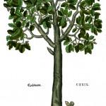Quercus KB