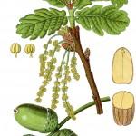 Quercus pedunculata, Kattholzeiche