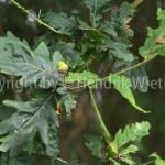 Quercus-web-1