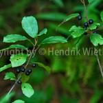 Rhamnus fragula 1-1