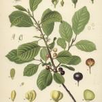 Rhamnus fragula Linn.