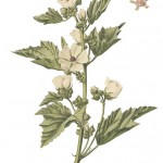 Althaea officinalis_g