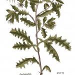 Cnicus benedictus KB