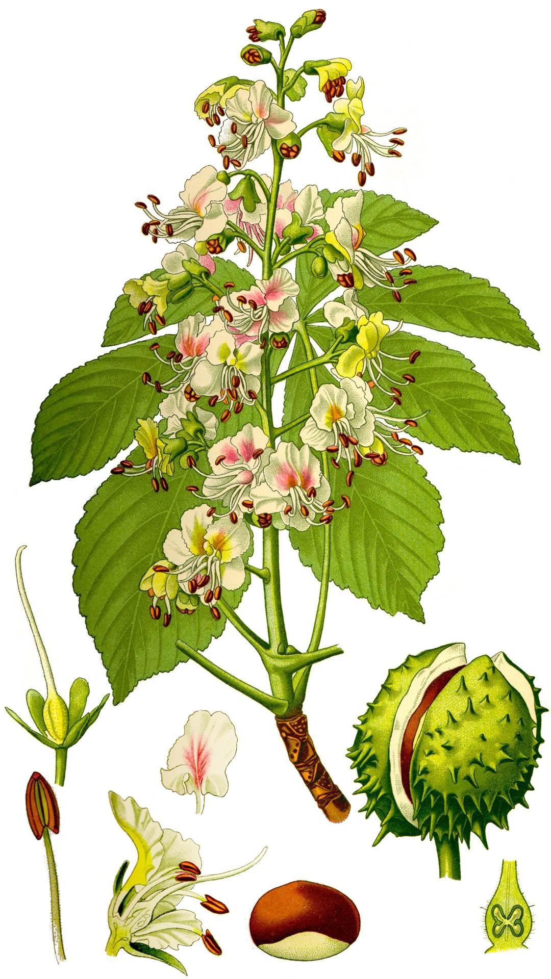 Kastanie (Ross)   Heilpflanzen der gemäßigten Zonen