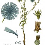 Cichorium intybus_g