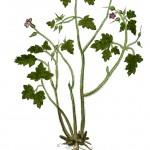 Geranium robertianum KB