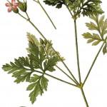 Geranium robertianum_g